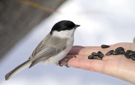 feed up: bird the Titmouse sits on a human palm     Stock Photo