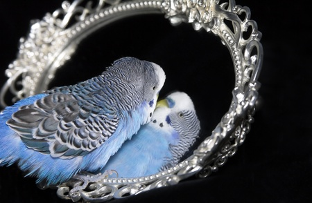 Blue wavy parrot with reflexion in  mirror photo