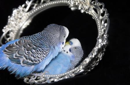 reflexion: Loro ondulado azul con la reflexi�n en espejo