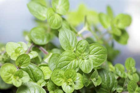 mentha: Leaves Mentha crispa     Stock Photo