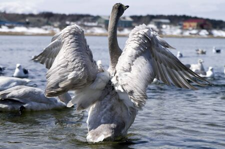 spreads: swan in the river spreads wings Stock Photo