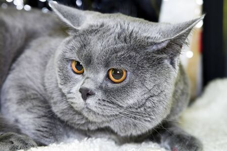 shorthaired: Portrait  cat of breed  British short-haired