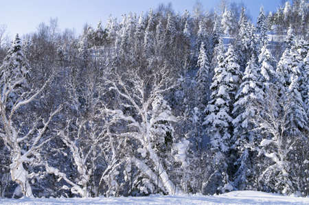 snowcovered: Snow-covered tree