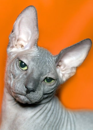 Cat of breed Don sphinx