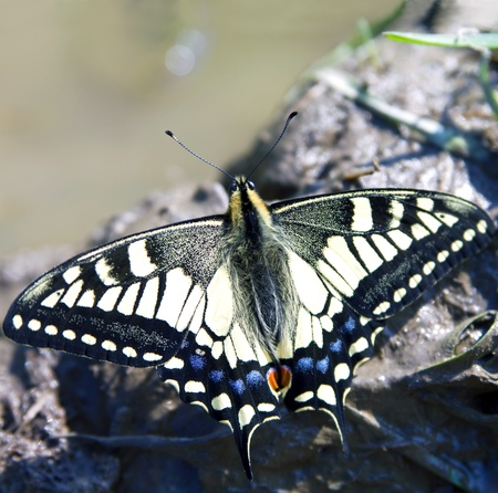 papilio: Butterfly Papilio machaon Stock Photo