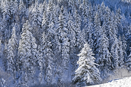 sakhalin: Snow-covered fir-trees in island Sakhalin mountains     Stock Photo