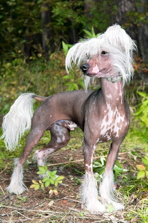 Dog of breed Chinese crested     photo