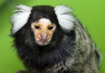 dwarfish: monkey Marmoset