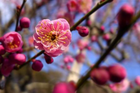 japenese: Japan pink plum blossom flower macro closeup, japenese plum blooming Stock Photo