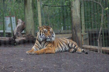 Bengal Tiger 版權商用圖片