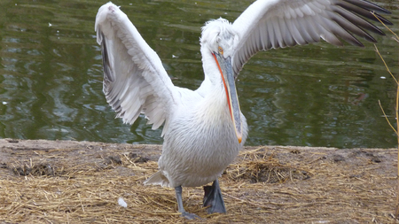 beautiful, white Pelican in nature, near the water. bird blossoms its feathers and wings on the Bank of the river. modern photo of a Pelican