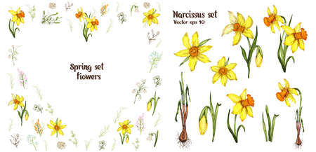 Narcissus spring set. realistic, hand-drawn doodling elements, bouquets. modern flowers for advertising, Wallpaper, paper, decor, postcard, invitation