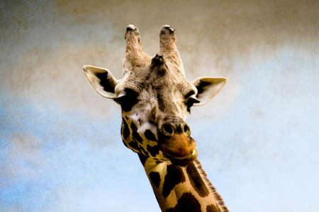 Portrait of a large African giraffe posing for the camera Stock Photo