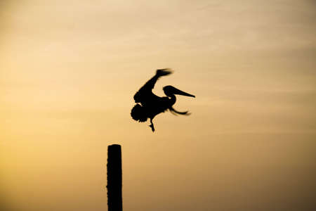 Pelican taking off while sun is setting Stock Photo