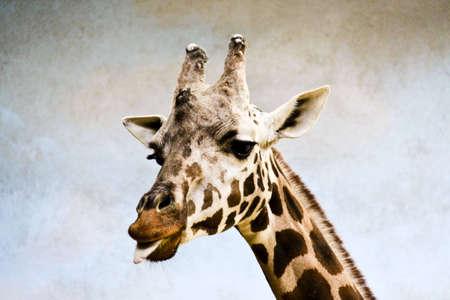 African giraffe posing for camera