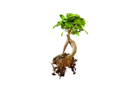 A small isolated bonzai tree showing the earth and roots.