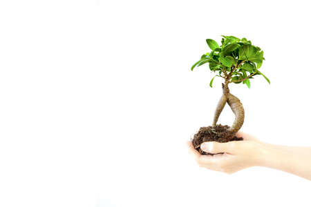 A small bonzai tree is growing in a womans hands on a white background. Archivio Fotografico