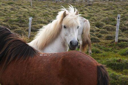 Amazing Icelandic horses graze in vivo in Iceland