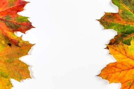 Autumn maple leafs on white background