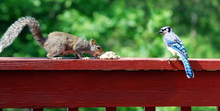 Blue Jay and Squirrel Stock Photo