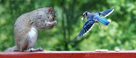 green jay: Blue Jay y ardilla