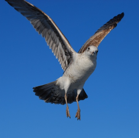 Ring Billed Seagull Stock Photo