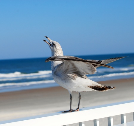 Singing Seagull