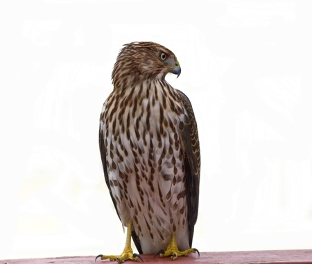 redtail: Red-tail hawk