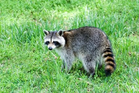 ear ring: Raccoon in Yard