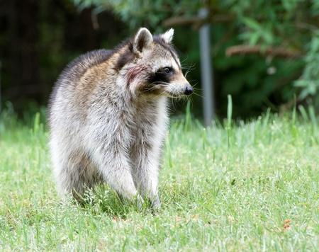 Closeup of Raccoon