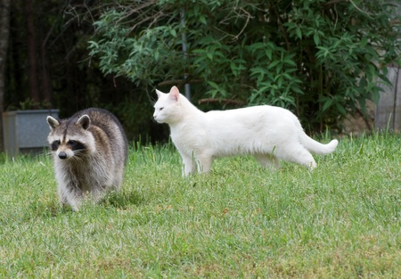 Female Raccoon and Male Cat