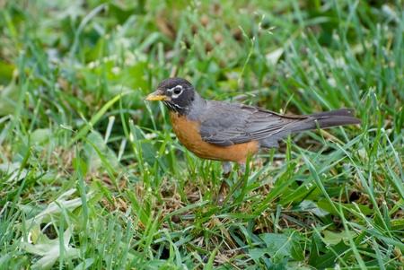 Robin feeding in yard