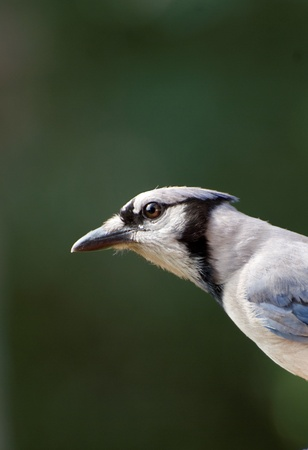 Closeup of blue jay against green background