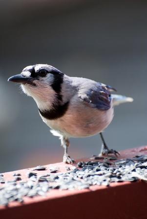 Closeup of blue jay