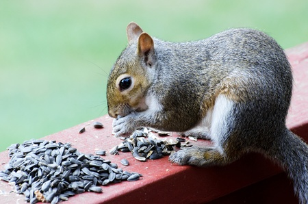 Closeup of squirrel eating sunflower seeds on deck rail Stock Photo
