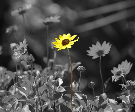 Daisy in color against black and white background of daisies