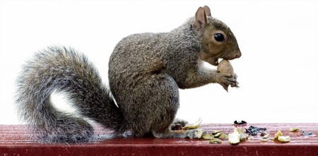 Squirrel on deck rail in rain eating pecan