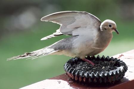 Mourning dove feeding spreading wings Stock Photo