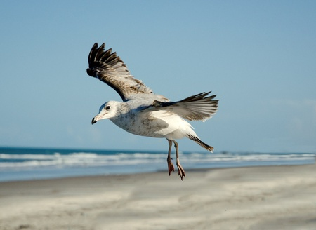 Upclose photo of a juvenile herring gull flying over the beach Stock Photo