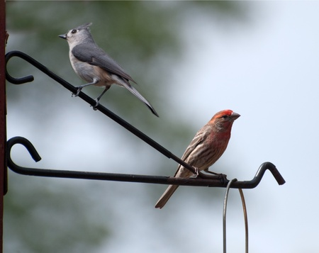 Closeup of a house finch and titmouse perched on a feeder Stock Photo