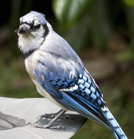 Close-Up of Blue Jay on a bird bath