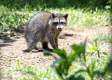 Baby raccoon feeding in the daytime in yard