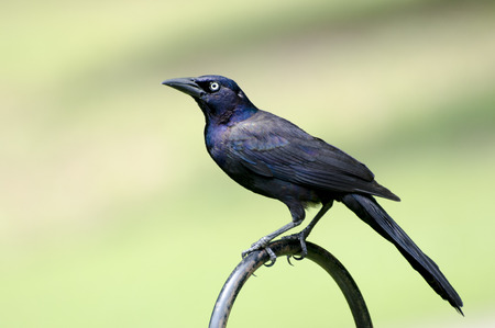 Close up of male grackles perched on railing