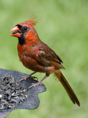 Male Cardinal feeding on sunflower seeds