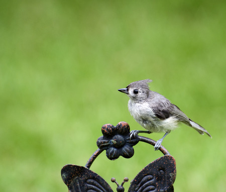 Close up of Titmouse perching on a rainy morning