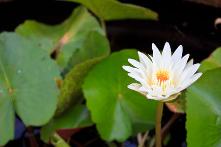 White lotus very beautiful flower photo