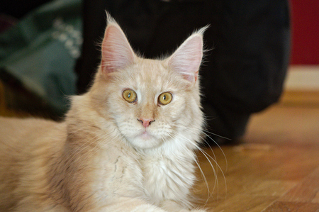 blooded: a Maine Coon Youngster Cat