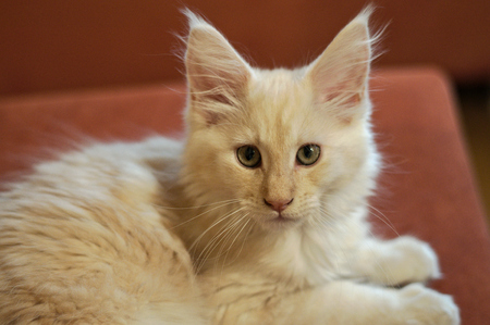 maine coon: a Maine Coon Youngster Cat