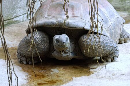 blooded: Galapagos Giant Tortoise Stock Photo