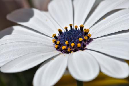 farina: a Daisy